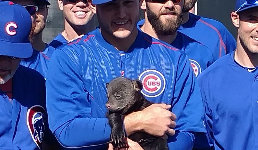 In this photo provided by Jason P. Skoda, Chicago Cubs' Anthony Rizzo holds one of two bear cubs during spring training baseball, Friday, March 25, 2016, in Mesa, Ariz. The 10- to 12-week old cubs were brought in from Bearizona, a wildlife park, the latest tactic by manager Joe Maddon to keep spring training light before the workday begins. (Jason P. Skoda via AP)