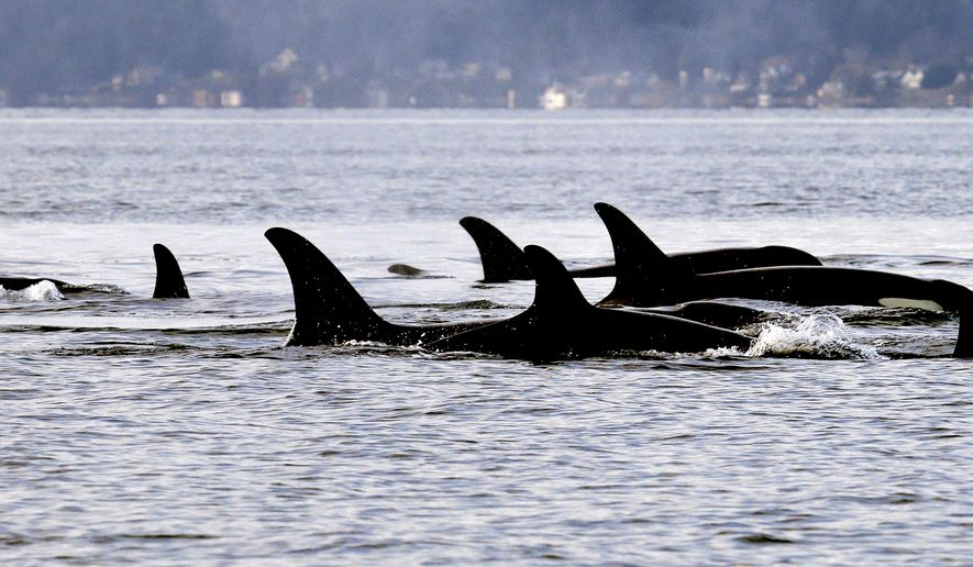 FILE - In this Jan. 18, 2014, file photo, endangered orcas from the J pod swim in Puget Sound west of Seattle, as seen from a federal research vessel that has been tracking the whales. The 84 endangered orcas in Puget Sound are some of the best studied marine mammals in the country. Now, using data from breath, feces and blubber samples and photos, wildlife biologists want to begin compiling personal health records for each orca to track both individual and population progress. (AP Photo/Elaine Thompson, File)