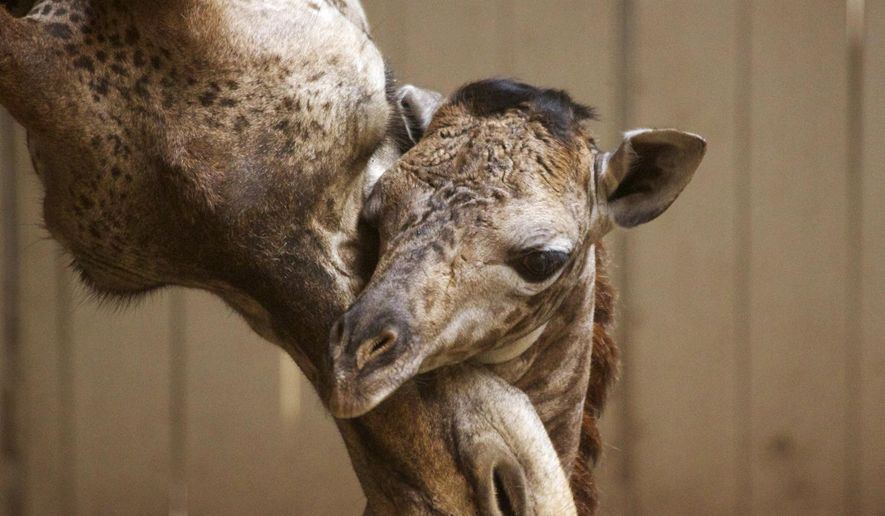This Monday, March 28, 2016 photo provided by the Santa Barbara Zoo shows a newborn baby giraffe and its mother, Audrey, in Santa Barbara, Calif. The unnamed Masai giraffe was born Saturday, March 26. (Santa Barbara Zoo/www.sbzoo.org via AP) MANDATORY CREDIT