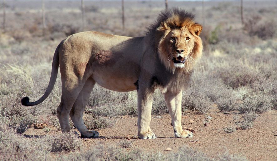 """In this July 23, 2015 photo provided by SANParks, Spook the lion is seen after he was recaptured after escaping from the Karoo National Park near Beaufor West, South Africa. Last year, a South African lion earned the nickname """"Spook"""" — """"Ghost"""" in the Afrikaans language — after it escaped from a national park and eluded searchers for more than three weeks. Now Spook has broken out again. A helicopter on Tuesday, March 29, 2016 searched for the male lion, which was fitted with a satellite tracking collar after last year's escape from Karoo National Park and should be easier to trace this time, park spokeswoman Fayroush Ludick said. The lion, which escaped overnight Sunday, has become a """"problem animal"""" and will be killed because he knows how to get out of the park and could endanger people, Ludick said.  (Gabriella Venter/SANSParks via AP)"""