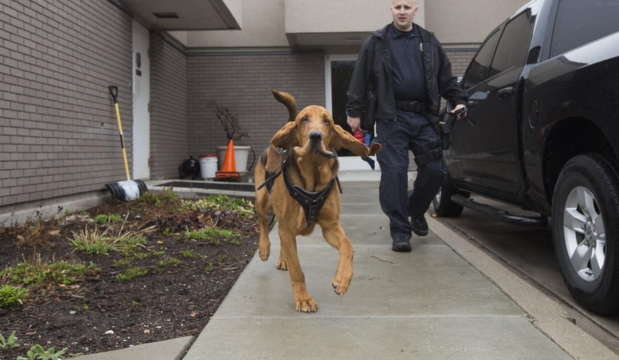"Woods Cross K-9 Officer Corey Boyle walks outside as 9-month-old Bloodhound ""Ranger"" trots ahead of him outside of the Woods Cross city building in Woods Cross, Utah, Monday, March 14, 2016. (Briana Scroggins/Standard-Examiner via AP) MANDATORY CREDIT, DESERET NEWS OUT, LOCAL TV OUT"