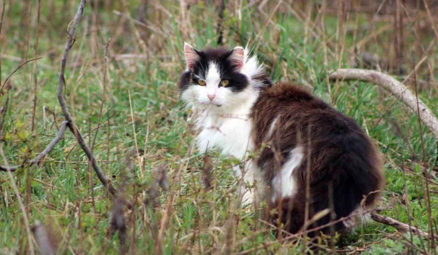 In this Friday, April 1, 2016 photo, a feral cat hides in a wooded area near a beach parking lot at Jones Beach State Park in Wantagh, N.Y. The American Bird Conservancy has filed a lawsuit against the New York parks department seeking to have the feral cats removed from Jones Beach because they claim they are a threat to an endangered bird species called the piping plover. (AP Photo/Frank Eltman)