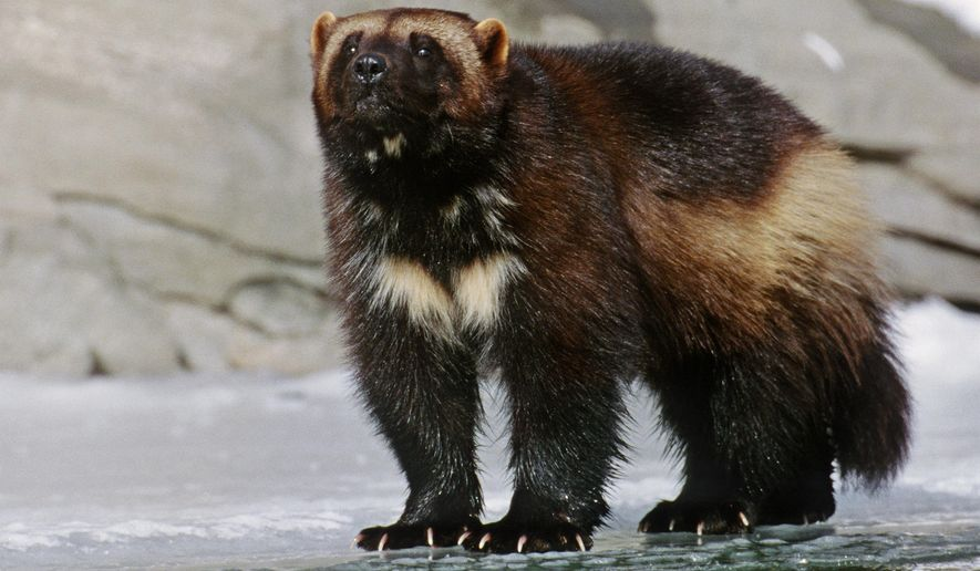 "This 1996 photo provided by NaturalExposures.com shows an adult wolverine on a frozen river taken in the Bridger Mountains north of Bozeman, Mont. The Obama administration brushed over the threat that climate change poses to the snow-loving wolverine when it denied protections for the elusive predator also known as the ""mountain devil,"" a federal judge ruled Monday, April 4, 2016. (Daniel J. Cox/NaturalExposures.com via AP) MANDATORY CREDIT"