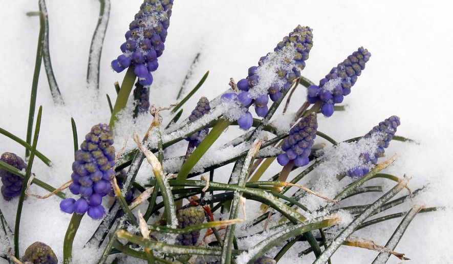 Snow surrounds flowers Monday, April 4, 2016, in Marlborough, Mass. An early spring cold front is expected to bring snow to the Northeast, after the region had one of its mildest winters on record. (AP Photo/Bill Sikes)