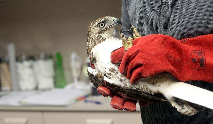 In this photo taken Friday, March 25, 2016, Luke Hart, executive director of the Raptor Advocacy, Rehabilitation, and Education (RARE) Group, carries a juvenile red-tailed hawk after x-raying its fractured humerus at Best Friends Veterinary Clinic in Iowa City, Iowa. (David Scrivner/Iowa City Press-Citizen via AP)  NO SALES; MANDATORY CREDIT