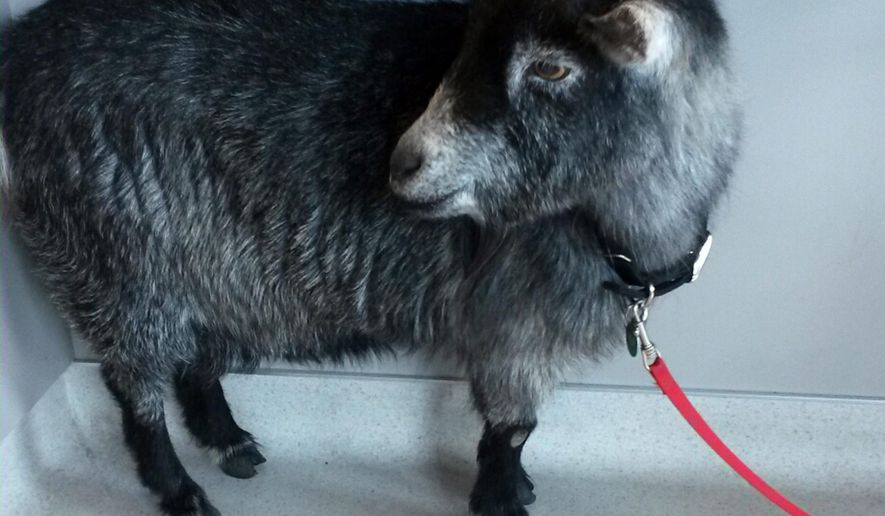 This photo provided by the Rohnert Park, Calif., Department of Public Safety shows a goat that wandered into a Starbucks in the Northern California town Sunday, April 10, 2016. Rohnert Park police Sgt. Rick Bates said employees who were opening the store tried to give the goat a banana, but the animal kept walking into the coffee shop and started chewing on a box. Bates took the goat into custody and brought it to an animal shelter.(Sgt. Rick Bates/Rohnert Park Department of Public Safety via AP)