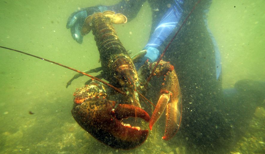 FILE - In this July 2007, file photo, a scientist holds a lobster underwater on Friendship Long Island, Maine. Reports from Sweden say American lobsters have appeared in their waters, threatening native stocks, and some are calling for a ban on imports. (AP Photo/Robert F. Bukaty, File)