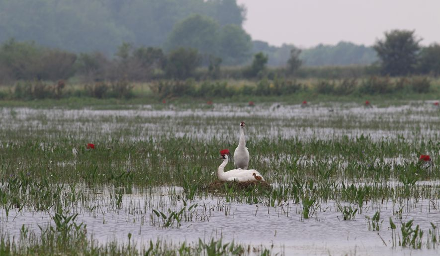 In this photo provided by Louisiana Department of Wildlife and Fisheries, a whooping crane chick stands by its parents at a nest in Jefferson Davis Parish, La., Tuesday, April 12, 2016. For the first time since 1939, a whooping crane chick hatched in the wild Monday, said biologist Sara Zimorski. (Sara Zimorski/Louisiana Department of Wildlife and Fisheries via AP) MANDATORY CREDIT