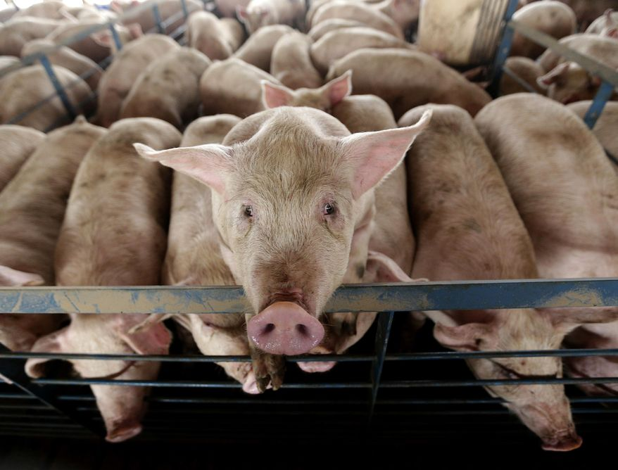 FILE - In this Nov. 11. 2015 file photo, a pig looks out of its pen at s hog feeding operation near Tribune, Kan. Millions of cattle and hogs fatten up at Kansas' more than 1,750 large-scale livestock feedlots, yet the state regulatory agency entrusted with overseeing those confined feeding operations has no full-time professional environmental engineers at the moment. (AP Photo/Charlie Riedel, File)