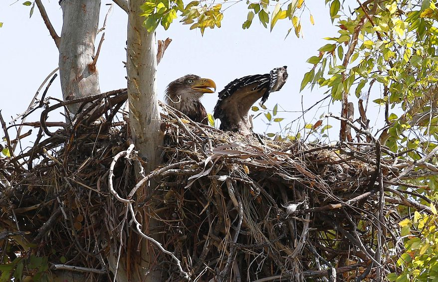A bald eagle raises a wing as it guards two hatchlings in a nest at a local golf course Thursday, April 14, 2016, in Scottsdale, Ariz. A pair of bald eagles and their two 6-week-old hatchlings have been living in a massive nest above a golf course in the city, reported The Arizona Republic. (AP Photo/Ross D. Franklin)
