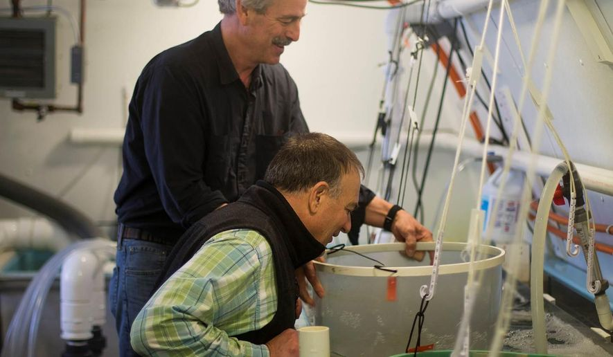 In this photo taken Thursday, March 31, 2016, Oyster hatchery owner Bill Mook, standing, and Joe Salisbury, an associate professor of oceanography at the University of New Hampshire, view young oysters being grown at Mook Sea Farm in Walpole, Maine. Mook teamed up with researchers at the University of New Hampshire to install a monitoring system that helps him manipulate growing conditions and give his oysters a better start. (AP Photo/Holly Ramer)