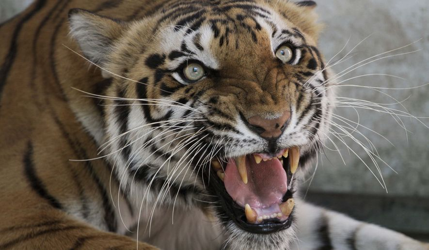 Monday, March 28, 2011, file photo, Seema, a Royal Bengal tigress, reacts to the camera at the zoo in Ahmadabad, India. (AP Photo/Ajit Solanki, File)