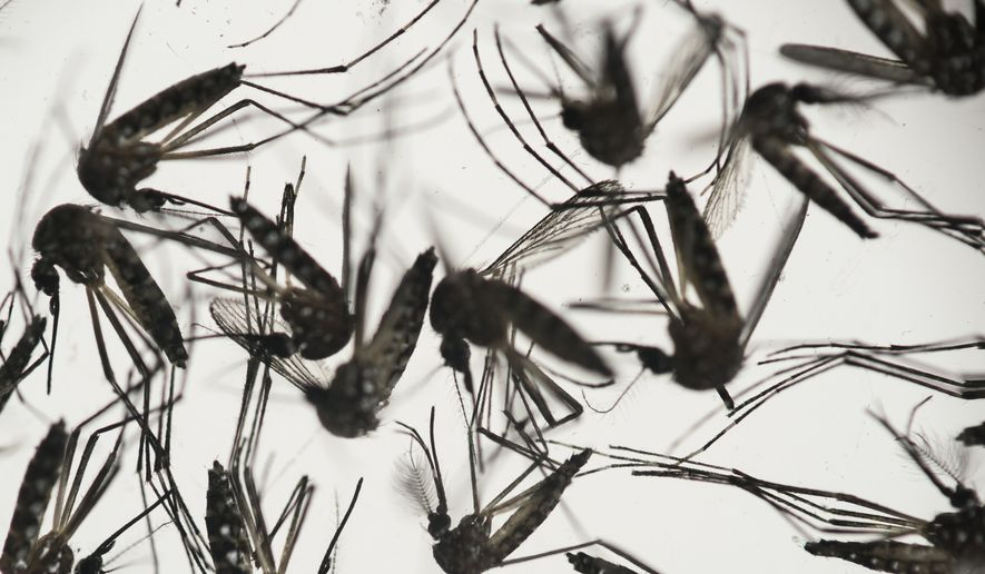 In this Jan. 27, 2016, file photo, samples of Aedes aegypti mosquitoes, responsible for transmitting dengue and Zika, sit in a petri dish at the Fiocruz Institute in Recife, Pernambuco state, Brazil. Mosquito-eradication efforts have taken on new urgency in Brazil with the Olympic Games slated to start in August. (AP Photo/Felipe Dana, File)