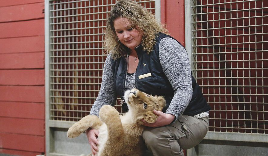 ADVANCE FOR SATURDAY APRIL 23 AND THEREAFTER - In an April 13, 2016 photo, Mandy Burnsworth, director of activities at the Nemacolin Woodlands Resort Adventure Center, in Farmington Pa., plays with Kiwi, a six-month-old African lion who was acquired two months ago from a privately-owned zoo in Florida. Kiwi soon will help replenish what now will be a pride of five lions at Nemacolin Woodlands.  (Thalia Juarez /Herald-Standard via AP) MANDATORY CREDIT