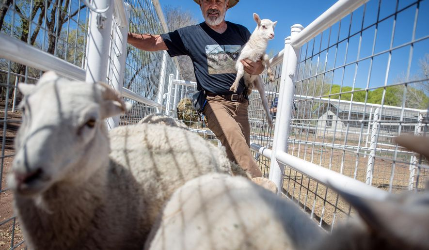 Donald Chavez of Belen, N. M., holds a newborn lamb at the new Gutierrez-Hubbell House exhibit on March 24, 2016. The exhibit features Dahl sheep, which is New Mexico's only recognized heritage breed. The New Mexico Dahl is in danger of becoming extinct with only a few remaining. Bernalillo County adopted the New Mexico Dahl Sheep as its official mascot. (Roberto Rosales/The Albuquerque Journal via AP)