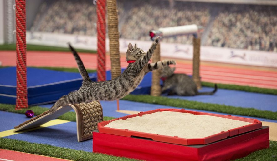 In this April 18, 2016 photo, a cat takes part in the long jump event in Hallmark Olympic Stadium during the taping of the Hallmark Channel's Kitten Summer Games in New York. What do the four-legged footballers of the Hallmark Channel's Kitten Bowl do in the offseason? They go for the gold in their own Summer Games, including a de-cat-hlon and freestyle wrestling. And, bonus, the 90 or so furry Olympians were up for adoption by the rescue group North Shore Animal League America, organizers said at the taping of the TV special to air Aug. 5, in time for the human games in Rio. (JJ Ignotz/Hallmark Channel via AP)