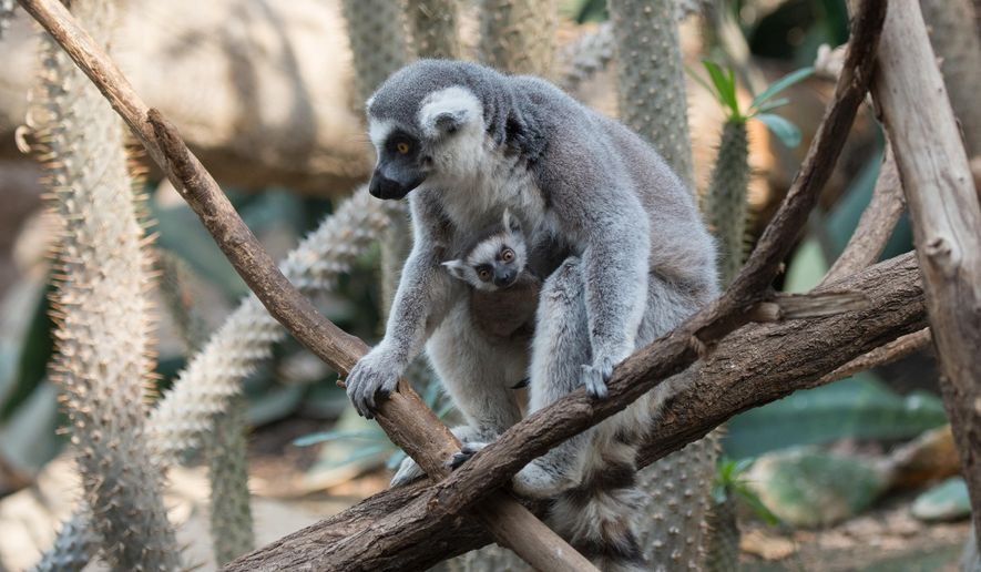 In this April 2016 photo provided by the Wildlife Conservation Society, a ring-tailed lemur and her baby sit on a tree branch at the Bronx Zoo in the Bronx borough of New York. The zoo is showing off three baby lemurs. Two are ring-tailed and one is a brown collared lemur. (Wildlife Conservation Society/Julie Larsen Maher via AP)
