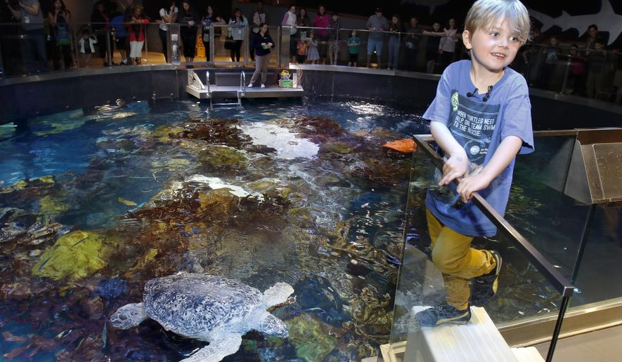 Jasper Rose, of Watertown, Mass., stands near Myrtle, a green sea turtle swimming in the main tank at the New England Aquarium Friday, April 22, 2016, in Boston. The 6-year-old's love of sea turtles prompted him to skip his birthday gifts and instead asked for money to donate for sea turtle rescue efforts. He has so far raised $550. (AP Photo/Bill Sikes)