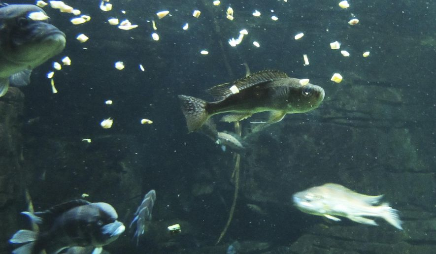 In this March 15, 2016, photo, freshwater fish feed in the River Journey building at the Tennessee Aquarium in Chattanooga, Tenn.  The aquarium's conservation institute is expanding its efforts to protect the endangered freshwater animals of the southeastern U.S. (AP Photo/Travis Loller)