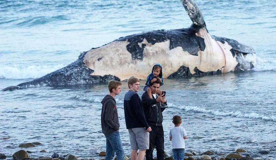 In this photo taken, Sunday, April 24, 2016, Kirk Lindahl, of San Clemente, snaps a selfie with a dead whale that washed up along the shore at Lower Trestles, a popular surf spot, a mile south of San Clemente, Calif. (Fred Swegles/The Orange County Register via AP)   MAGS OUT; LOS ANGELES TIMES OUT; MANDATORY CREDIT
