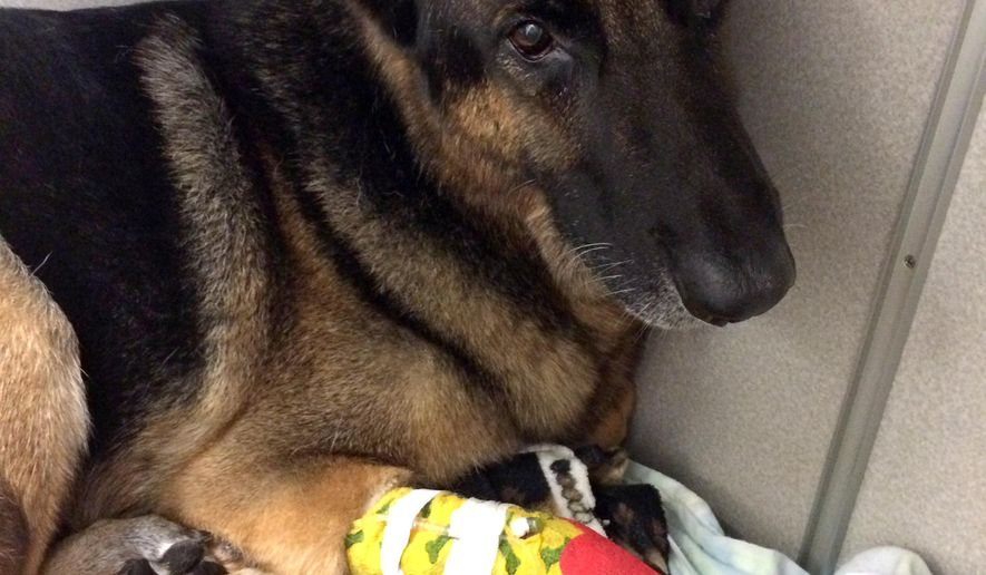 In this Tuesday, April, 26, 2016 photo released by the Seminole County Sheriff's Office, Maxx the dog, with a bandage on his paw, recuperates from smoke inhalation after it helped fire fighters locate and rescue a 4-year-old boy and 2-year-old girl from a burning home Monday night in Longwood, Fla. (Seminole County Sheriff Office via AP)