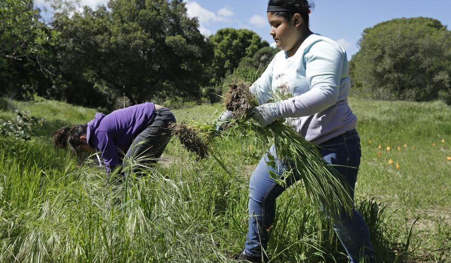In this photo taken on Tuesday, March 22, 2016, Antioch High School freshman Matilde Roblero, right, removes invasive plant species from the Antioch Dunes National Wildlife Refuge in Antioch, Calif. In the latest incarnation of vocational education programs that once prepared young people not bound for college for skilled trades, the federal government and states like California are betting big that connecting high school studies to the increasingly technical knowledge required in fields such as manufacturing, agriculture and information technology will get more students to graduate, go on to complete at least some college and find well-paying jobs. (AP Photo/Ben Margot)