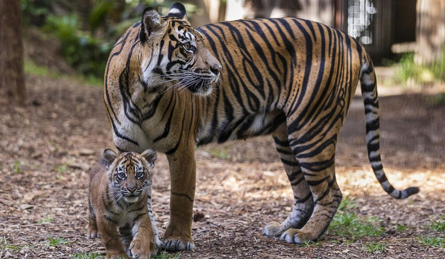 In this Tuesday, April 26, 2016 photo provided by the San Diego Zoo Safari Park, adult Sumatran tiger Joanne and her cub make a public debut in the maternity exhibit at Tull Family Tiger Trail at San Diego Zoo Safari Park in Escondido, Calif. Visitors got their first glimpses Tuesday of multiple cubs as they romped and munched on plants in their habitat. (Ken Bohn/San Diego Zoo Safari Park via AP) MANDATORY CREDIT