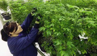 Ashley Thompson inspects marijuana plants at the Ataraxia medical marijuana cultivation center in Albion, Illinois. (Associated Press)