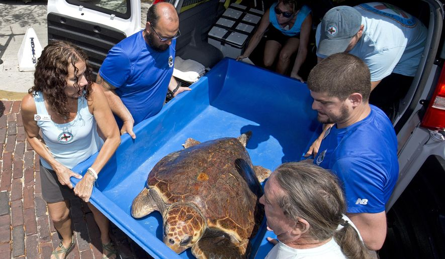 "In this photo provided by the Florida Keys News Bureau, staff from the Florida Keys-based Turtle Hospital unload a 200-pound loggerhead sea turtle named ""Hunter"" at the Key West Aquarium Wednesday, April 27, 2016, in Key West, Fla. The reptile, treated for lockjaw and embedded fishhooks, is to remain at the aquarium while it convalesces with hopes it can be eventually released back into the wild. (Rob O'Neal/Florida Keys News Bureau via AP)"