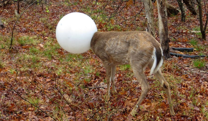 In this May 3, 2016 photo provided by the New York State Department of Environmental Conservation, a deer with its head caught in the globe from a lighting fixture over its head stands in the woods in Centereach, N.Y. The deer was able to extricate itself with the help of Environmental Conservation Officer, Jeff Hull. Hull wrestled with the deer for a while and the globe shook free in the process. (New York State Department of Environmental Conservation via AP)