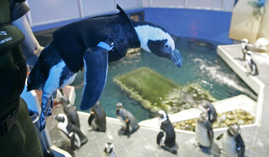 FILE - In this Thursday, April 17, 2008 file photo, Pierre the Penguin, wears his wetsuit at the Academy of Sciences in San Francisco. Pierre, the San Francisco penguin who once sported a wetsuit and also starred in a children book, has died at the age off 33. The California Academy of Sciences announced that the penguin, the oldest bird in the academy's colony of African penguins, died recently from kidney failure. (AP Photo/Eric Risberg)