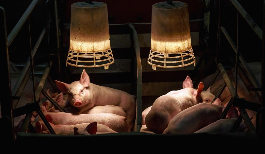 In this May 2, 2016 photo, piglets that are 14 to 16 days old jockey for a position to feed from their mother underneath a heat lamp at a farrowing house at Borgic Farms in Raymond, Ill. Borgic Farms is looking to expand with a new site along with other Illinois hog producers that have have already filed half as many expansion notices with state regulators in 2016 as they did all of last year. (Justin L. Fowler/The State Journal-Register via AP) MANDATORY CREDIT, NO SALES