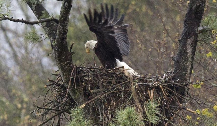 In this photo taken Wednesday, May 4, 2016, an eagle stretches her wings while on the nest in Hinsdale, N.H. This year has been especially good year for the birds in New Hampshire. (AP Photo/Jim Cole)