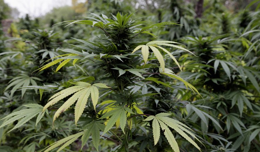 Marijuana plants are seen in Chicago where officers say they discovered two football fields worth of pot plants growing on the city's South Side. (Associated Press) ** FILE **