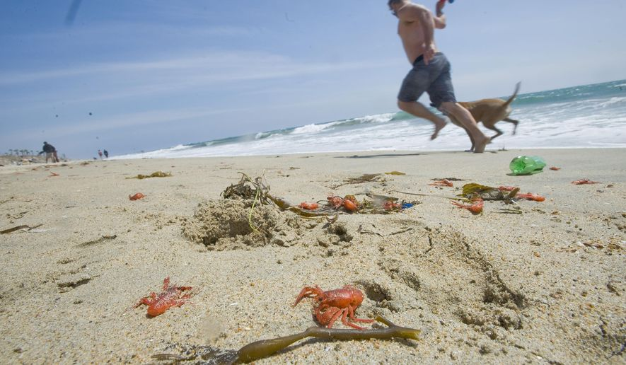 Red crabs were scattered on the beach after being washed up on shore along Huntington Dog Beach on Wednesday, May 11, 2016 in Huntington Beach, Calif. (Paul Rodriguez/The Orange County Register via AP) LA TIMES, MAGS OUT