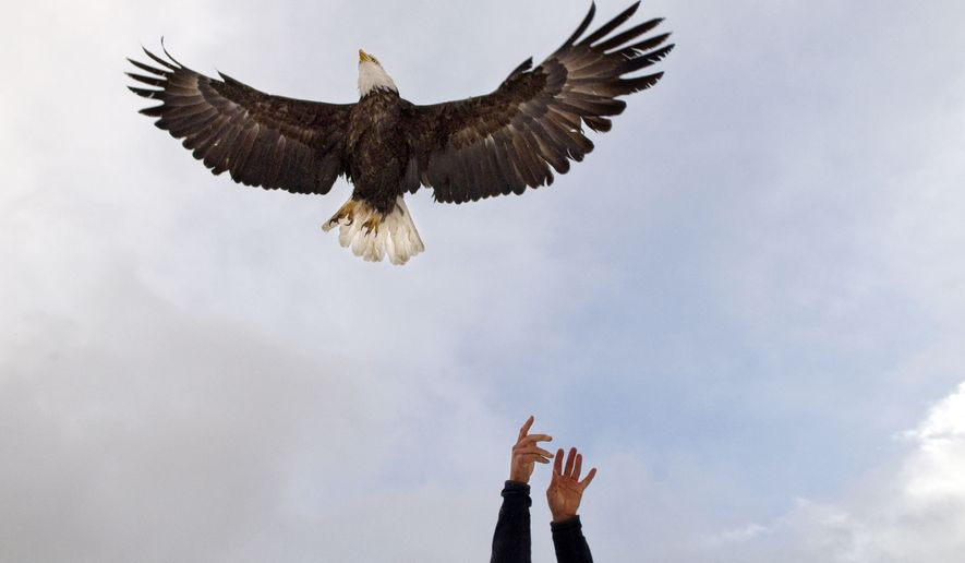 Craighead Beringia South biologist Bryan Bedrosian releases one of several eagles he's equipped with tracking devices back into the wild on Dec. 1, 2009 on the National Elk Refuge near Jackson, Wyo. (Bradley J. Boner/Jackson Hole News & Guide via AP) **FILE**