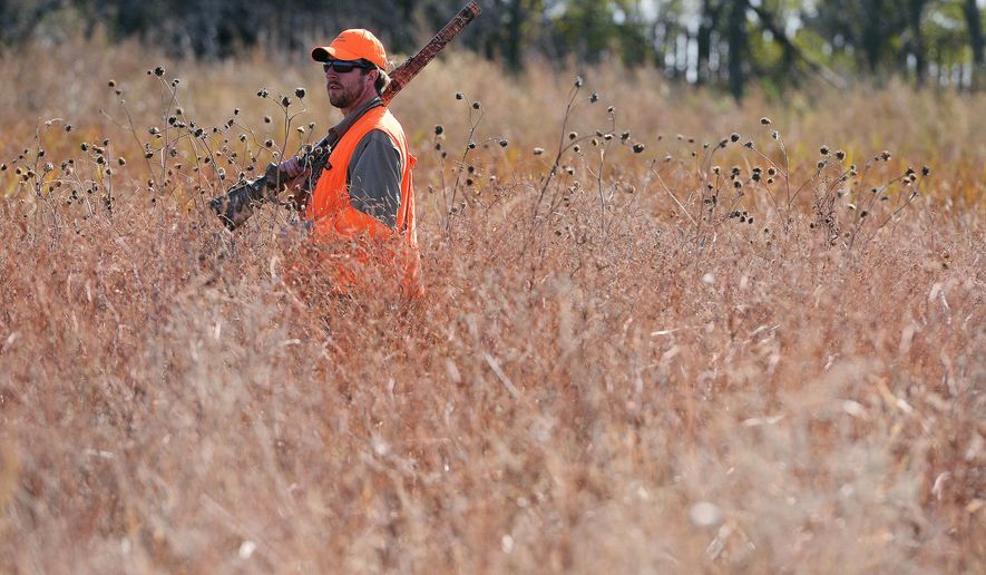 In this Oct 17, 2015, photo, Tyler Garry walks through a slough while hunting for pheasants near Salem, S.D. South Dakota saw an increase in pheasant hunters in 2015, but they didn't harvest as many birds as state biologists expected. (Elisha Page/The Argus Leader via AP) NO SALES; MANDATORY CREDIT