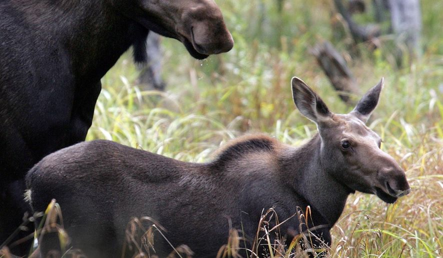 This photo taken Aug. 21, 2010 shows a moose calf in Franconia, N.H. In the battle between ticks and moose, the blood-sucking insects seem to have the upper hand. (AP Photo/Jim Cole)