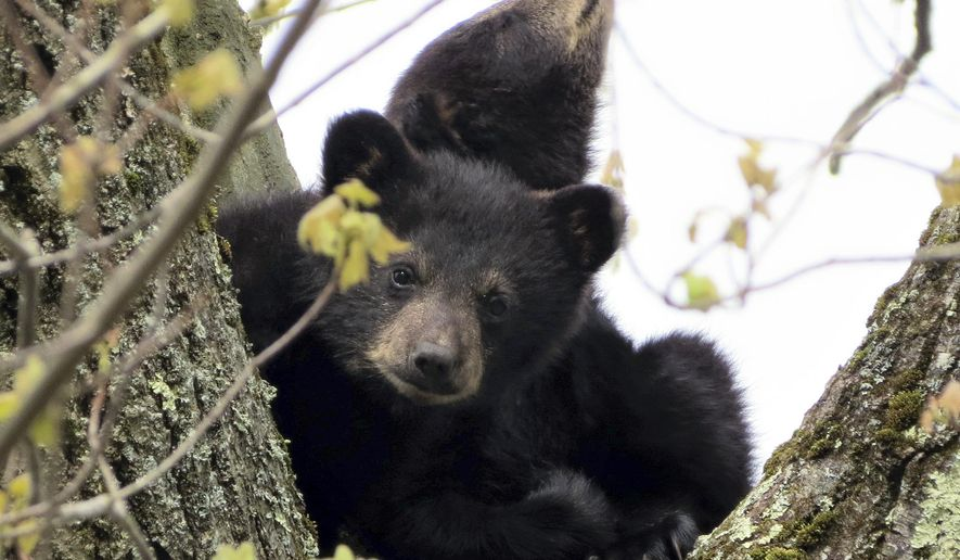 In this photo provided by Paul N. DeMeo, bear cubs sit in a tree Monday, May 16, 2016, in Gardner, Mass. Environmental workers rescued the cubs after their mother died after being electrocuted by a transformer on Sunday. Wildlife officials said the cubs are in good health. (Paul N. DeMeo via AP) MANDATORY CREDIT