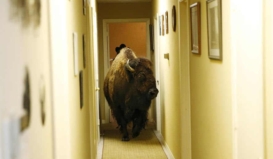 Bullet, a bison, walks through the hallway of her owner Karen Schoeve's home in Argyle, Texas on Friday, May 13, 2016. Bullet the bison was transported Saturday, May 14, 2016, from Schoeve's home in Argyle to her new home, a pasture which she will share with two cows, 15 miles away in Flower Mound. (Vernon Bryant/The Dallas Morning News via AP)  MANDATORY CREDIT, NO SALES, MAGS OUT, TV OUT, INTERNET USE BY AP MEMBERS ONLY