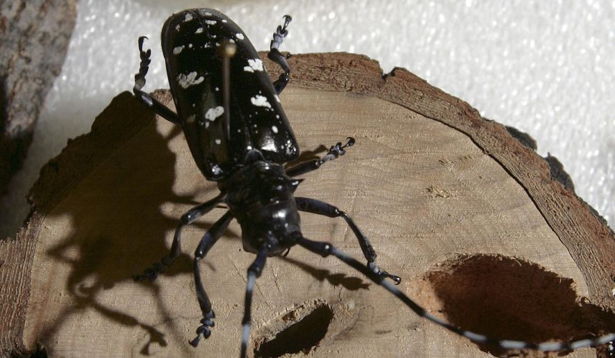 FILE - In this May 21, 2009, file photo, a dead Asian longhorned beetle is seen in its adult stage, front, and as a larva at the state Department of Resources and Economic Development Division of Forest and Lands office in Hillsboro, N.H. A new study published this month in the journal Ecological Applications says imported forest pests are causing billions of dollars in damage each year in the United States. (AP Photo/Jim Cole, File)