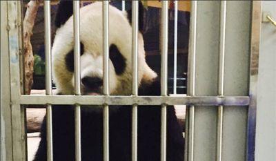 Tuan Tuan at the Taipei Zoo, in Taipei, Taiwan. (Taipei Zoo via AP)