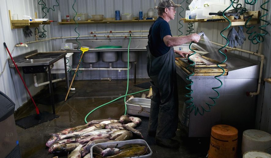 In this May 11, 2016 photo, Richard Clodfelter prepares to process the first Asian carp of the day at Rac's Fish Market & Restaurant in Grayville, Ill. Asian carp, the menace of the nearby Wabash River, and a multitude of other inland waterways, can be found join the menu alongside local favorites such as catfish, buffalo and hi-fin. (Denny Simmons/Evansville Courier & Press via AP)  MANDATORY CREDIT