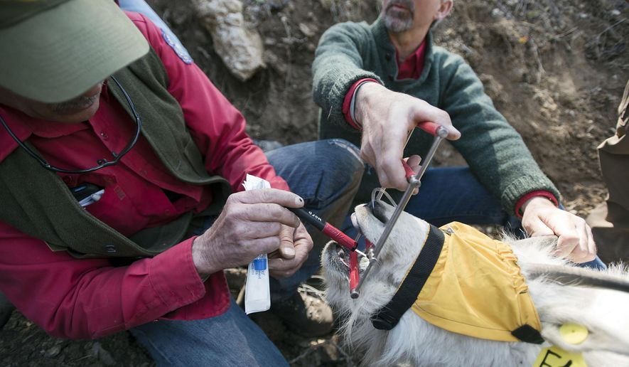 Wyoming Game & Fish biologist Gary Fralick, left, swabs the inside of the mountain goat's mouth while collecting samples from the sedated animal near Alpine in this photograph from April 20, 2016. (Bradly J. Boner/Jackson Hole News&Guide via AP)