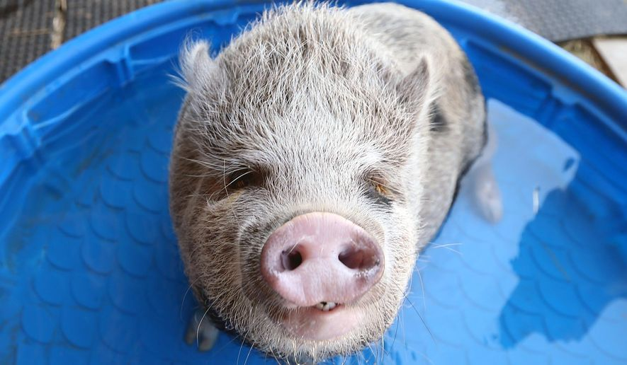 Wilbur, a potbelly pig, plays at Metro Animal Shelter Thursday, May 19, 2016 in Tuscaloosa, Ala. The animal shelter is seeking a home for Wilbur. The pig weighed about 20 pounds when he was brought to the Tuscaloosa shelter a few months ago and weighs more than 120 pounds now. (Michelle Lepianka Carter/The Tuscaloosa News via AP) NO SALES; MANDATORY CREDIT