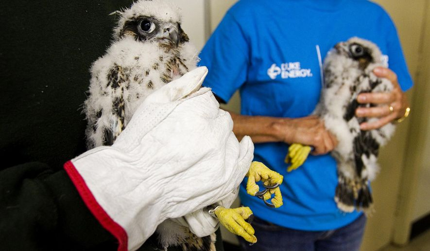ADVANCE FOR WEEKEND EDITIONS - In this May 16, 2016 photo, two peregrine falcon chicks are pictured at Duke Energy's Gallagher Generating Station after being examined and tagged for cataloging purposes by bird biologists with the Indiana Department of Natural Resources in New Albany, Ind. (Christopher Fryer/News and Tribune via AP) MANDATORY CREDIT