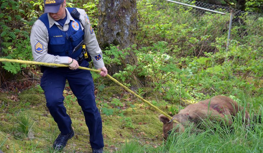 In this Wednesday, May 18, 2016 photo, Alaska Wildlife Trooper Sgt. Shane Nicholson helps pull a juvenile brown bear to a truck after the bear was killed on private property in Kodiak, Alaska, Wednesday afternoon following days of wandering in populated areas. (JoAnn Snoderly/Kodiak Daily Mirror via AP) MANDATORY CREDIT