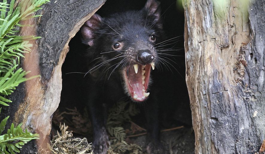 FILE - In this Dec. 21, 2012 file photo a Tasmanian devil called Big John growls from the confines of his new tree house as he makes his first appearance at the Wild Life Sydney Zoo in Sydney, Australia. The Tasmanian devil is an endangered species due to a mysterious disease that has slashed their numbers in Tasmania's wilderness by as much as 90 percent since it was discovered two decades ago. (AP Photo/Rob Griffith, File)