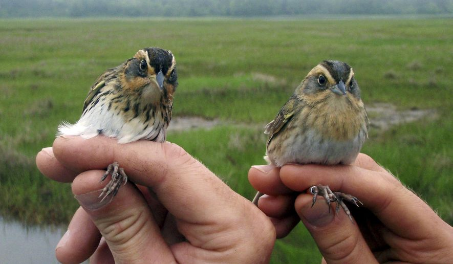 This May 2012 photo provided by Saltmarsh Habitat and Avian Research Program shows saltmarsh sparrows in their coastal habitat. Scientists say the population of the birds, which live in coastal areas from Maine to Virginia, is declining. (Kate Ruskin/Saltmarsh Habitat and Avian Research Program via AP)