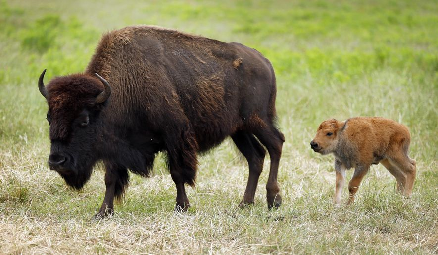 This photo taken May 18, 2016, shows  American bison, now including a newborn calf, and  is one of the most popular features of the Fort Worth Nature Center and Refuge in Fort Worth, Texas. Bison once roamed the Great Plains by the millions and even made their way through North Texas. But in a matter of years they were hunted to the brink of extinction, dropping from an estimated 30 million to 60 million as European settlers arrived in North America to around 1,000 by 1889. While their numbers have recovered to around 500,000, there still aren't that many places to see the American Bison, which was named the national mammal of the United States earlier this month. Few are wild, and most are now part of private herds, including one at the Fort Worth Nature Center and Refuge.  (Rodger Mallison/Star-Telegram via AP)  MANDATORY CREDIT